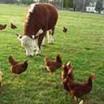 پرورش حیوانات اهلی