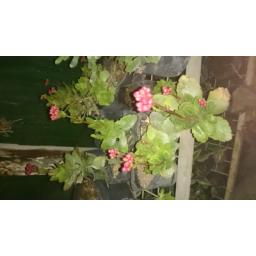 فروش و پرورش گل قاشقی