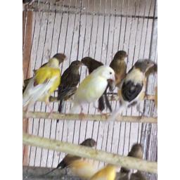 فروش قناری  زرد ، نارنجی،سیاه و سفید  نژاد ایرانی