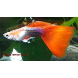ماهی گوپی نژادred tail