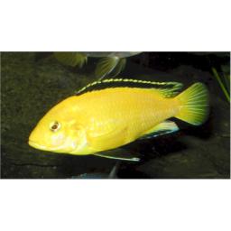 پرورش ماهیان ماکرو زرد