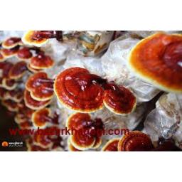 فروش قارچ گانودرما