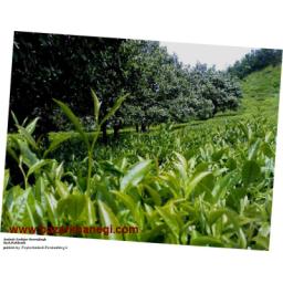 چای سیاه ایرانی خالص و بدون هرگونه افزودنی