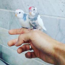 یک جفت مرغ عشق دستی زیبا وخوش رنگ وسالم
