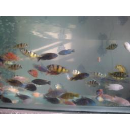 ماهی سيچلايد آفريقايي