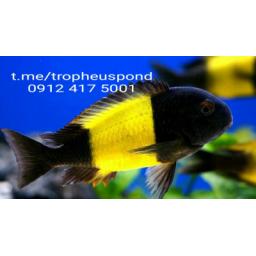 ماهی تروفئوس (تروفعوس) ایکولا کایسر