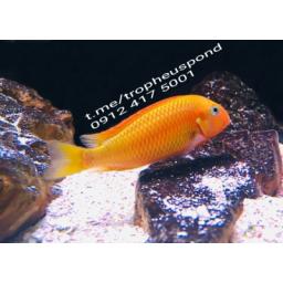ماهی تروفئوس موری ردبیشاپ