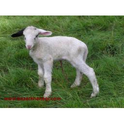 فروش گوسفند با قیمت بسیار مناسب