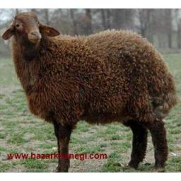 پرورش گوسفند هر دو جنس و با هر سنی