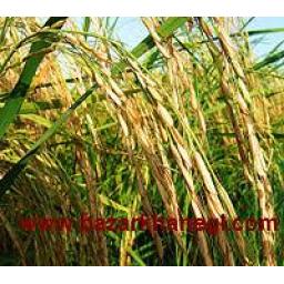 برنج هاشمی صدری معطر