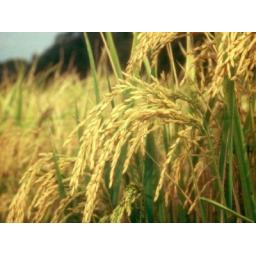برنج محلی گیلان،برنج هاشمی درجه یک