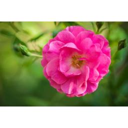 گلاب دو آتشه