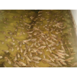 ماهی اسکار تایگر