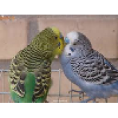 فروش پرنده مرغ عشق